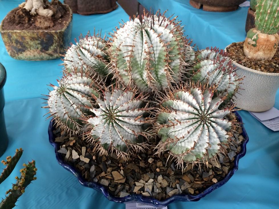 Euphorbia horrida x meloformis