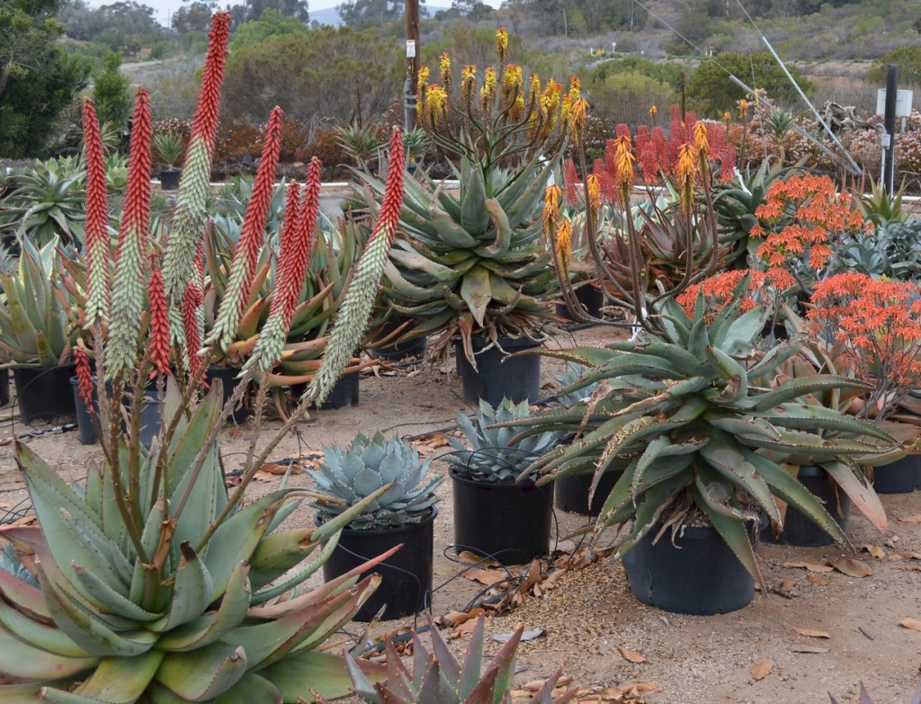 Group of Aloes in flower