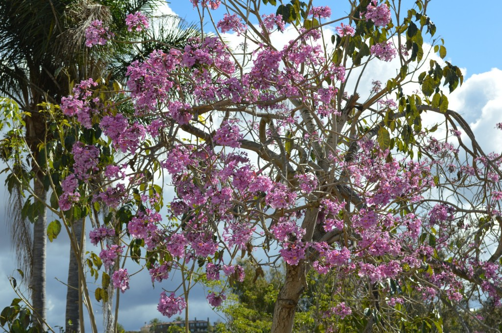Flowering Tabebuia impestiginosa