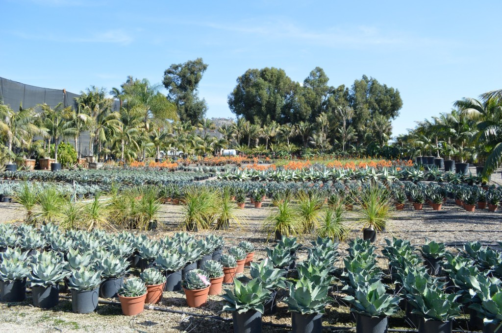 Lower Lot Aloe and Agave Section