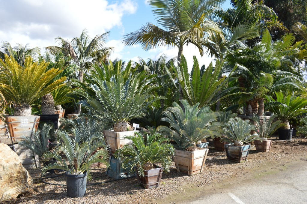 South African Cycads for sale