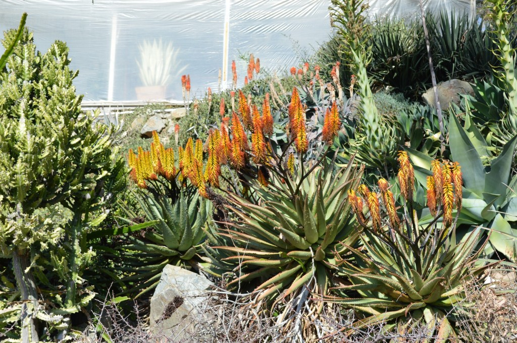 Aloe marlothii in flower