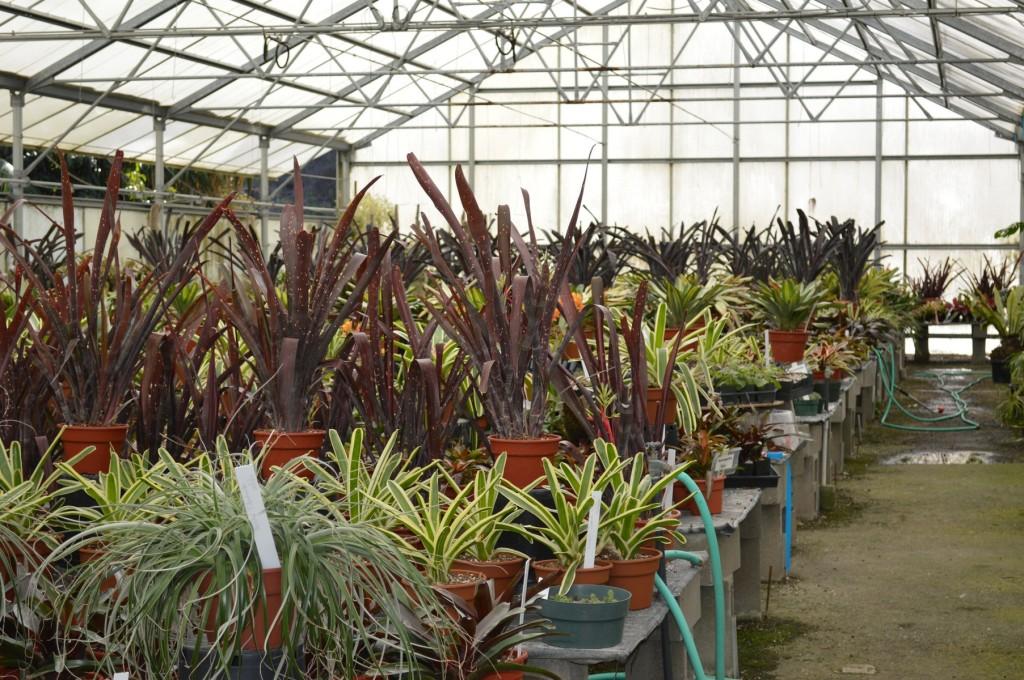 Rancho Soledad Bromeliad Propagation Greenhouse