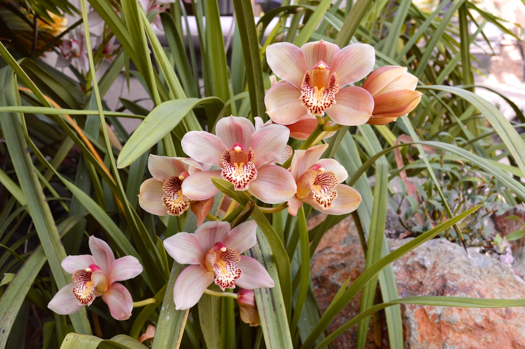 Gold-Flowering Cymbidium Orchid