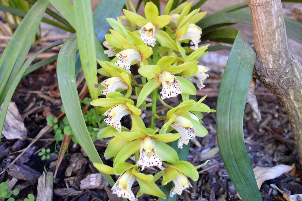 Lime-Flowering Cymbidium Orchid