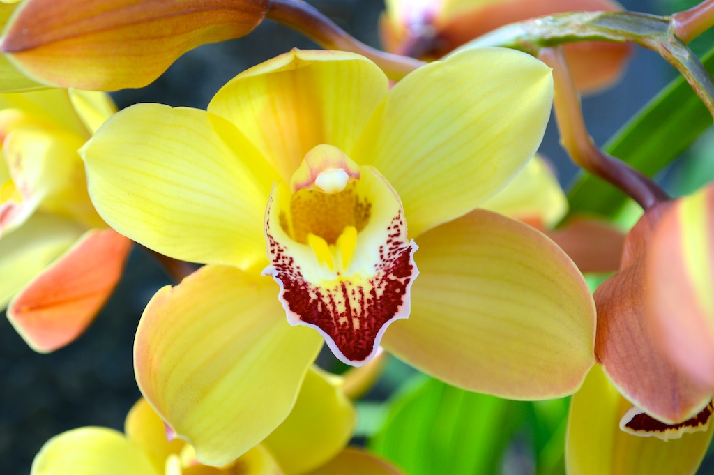 Yellow-Flowering Cymbidium Orchids