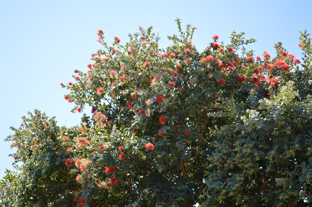 "Metrosideros polymorpha ""Springfire"" Hedge"