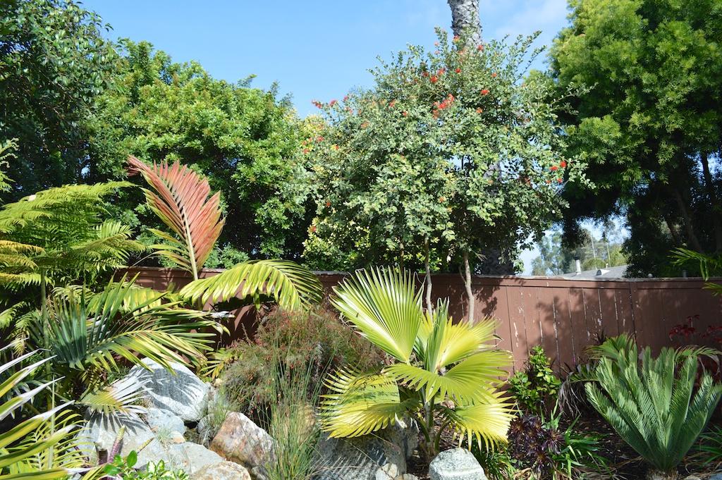 "Metrosideros polymorpha ""Springfire"" in Garden"