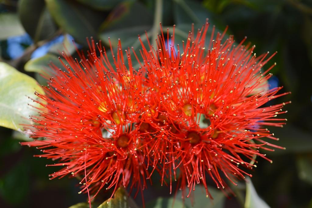 "Metrosideros polymorpha ""Springfire"" Flower Closeup"