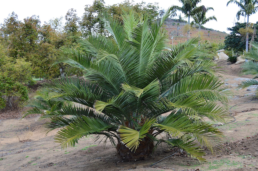 Jubaea chilensis to be Transplanted